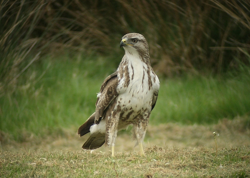 Common Buzzard.