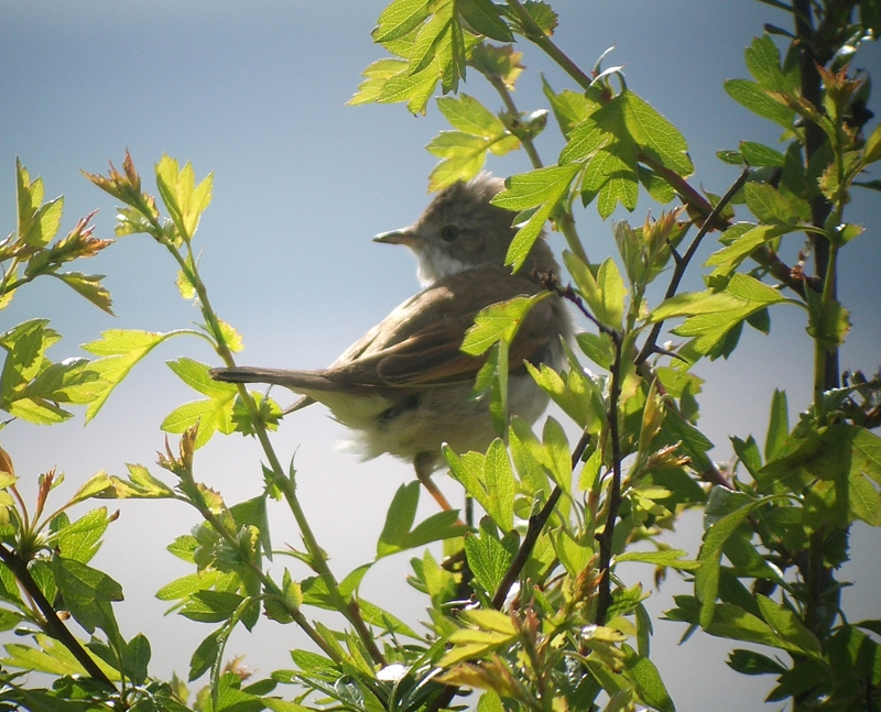 Common Whitethroat.