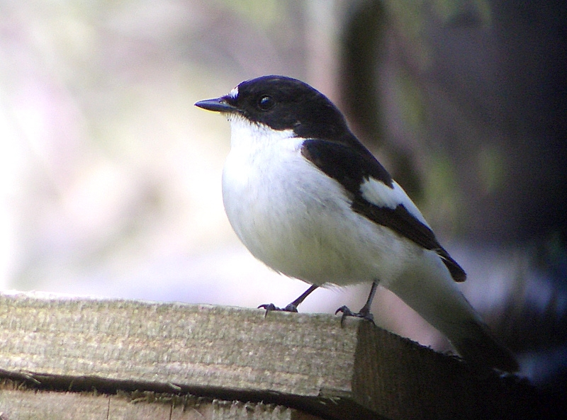 Pied Flycatcher.