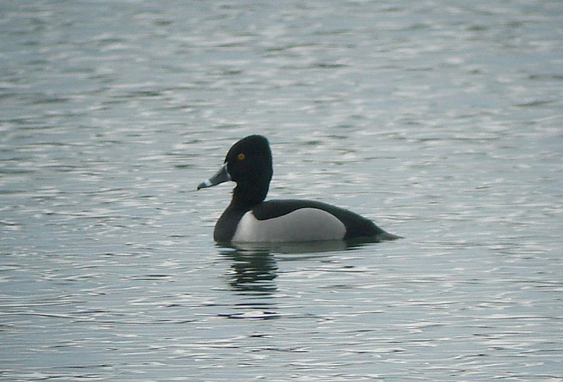 Ring-necked Duck .
